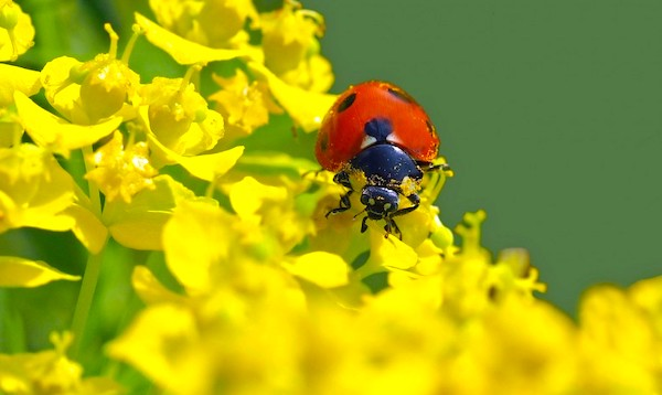 attracting lady bugs to fend off aphids