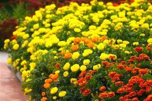 marigold flowers in phoenix garden