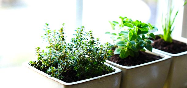 growing thyme in your garden