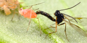 parasitic wasp in Phoenix Arizona